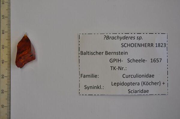 Vorschaubild Bernstein m. Käfer, Köcher, Trauermücke