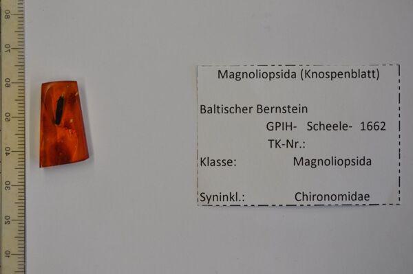 Vorschaubild Bernstein m. Knospenblättchen, Zuckmücke