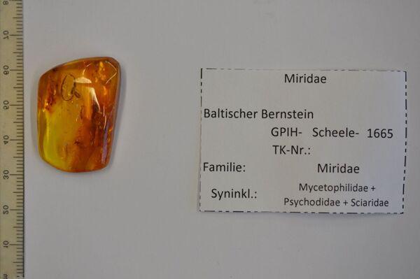 Vorschaubild Bernstein m. Weichwanze, Pilzmücke, Schmetterlingsmücke, Trauermücke