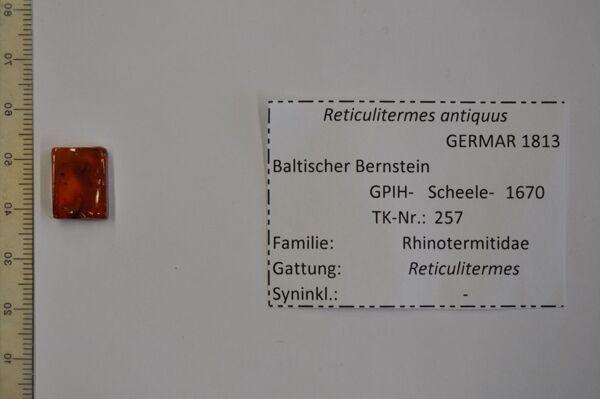 Vorschaubild Bernstein m. geflügelter Termite