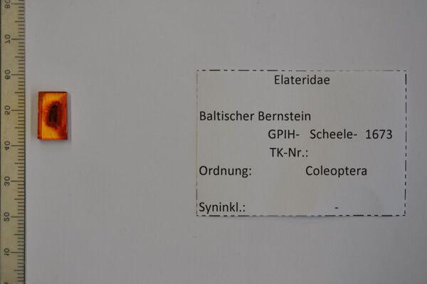 Vorschaubild Bernstein m. Schnellkäfer