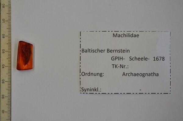 Vorschaubild Bernstein m. Felsenspringer