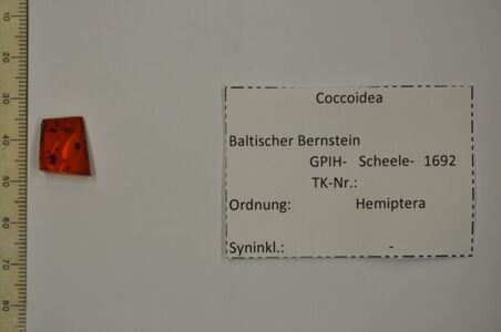 translation missing: de.preview Bernstein m. weiblicher Schildlaus