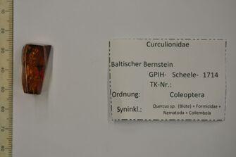 preview Bernstein m. Rüsselkäfer, Eichenblüte, Ameise, 2 Würmer, 2 Springschwänze
