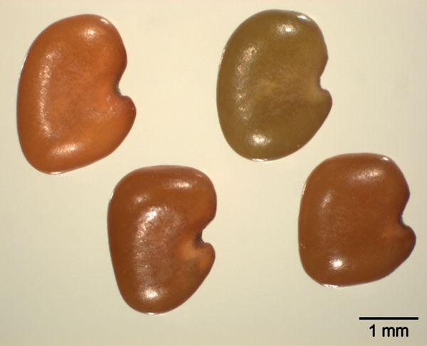 Vorschaubild Sicheltraganth