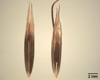 Vorschaubild Schwarzhafer, Rauh-Hafer