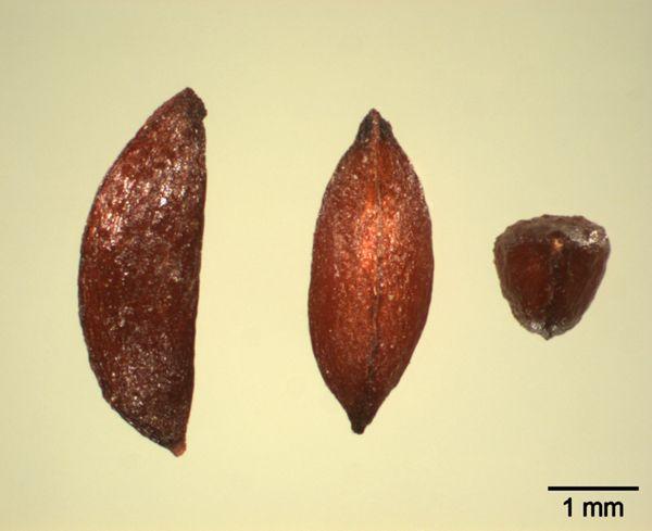 Vorschaubild Akeleiblättrige Wiesenraute