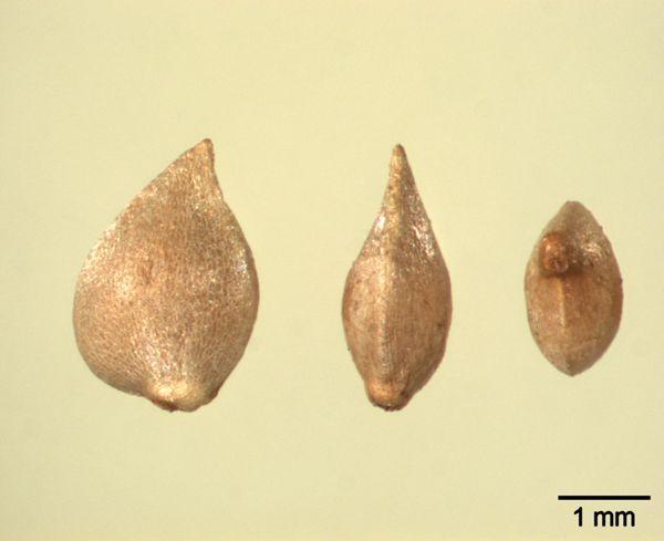 Vorschaubild Ackerfrauenmantel